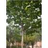 临沂速生法桐——价格合理的法桐树海苗木供应