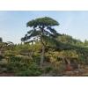 [龙泉盆景园]造型景观松品种优异|泰安造型景观松