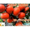 品种好的柑桔哪里买|鹤壁柑桔新品种
