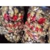 【好口碑@陈学】大姜种子供应商|生姜种子价格|生姜种子批发