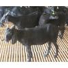 广西扶绥广羊农牧划算的广西黑山羊出售:贺州黑山羊