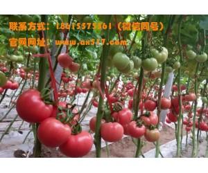山东西红柿苗采购选哪家?去安信种苗看看